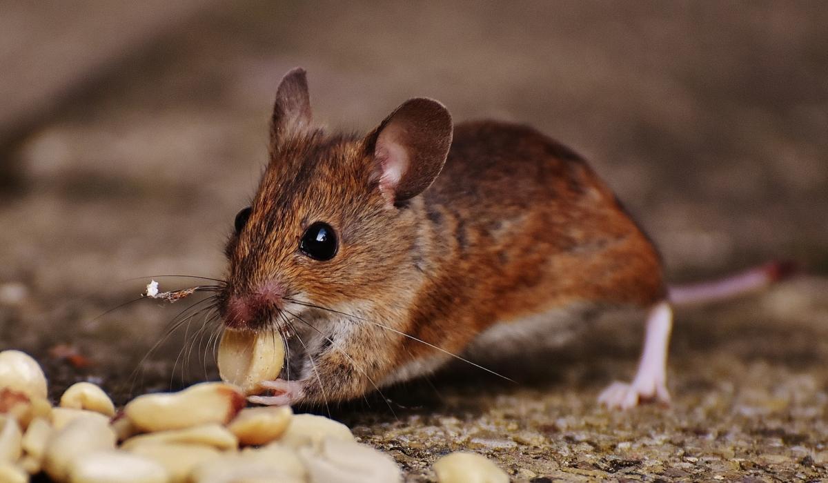 ネズミ 夢 占い